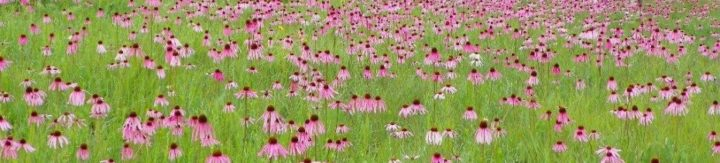 A large group of purple coneflowers