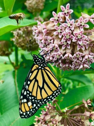 Monarch butterfly and bee on milkweed