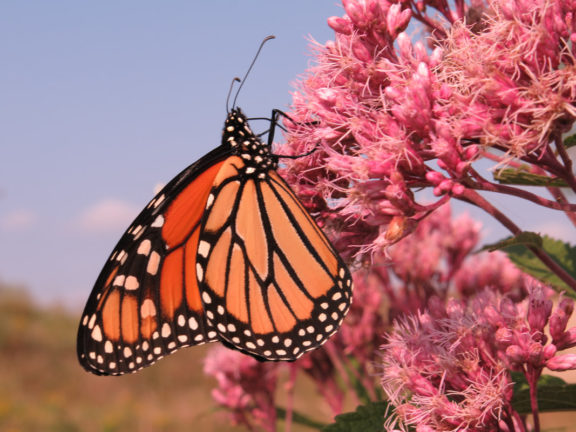 Monarch on Joe-Pye Weed